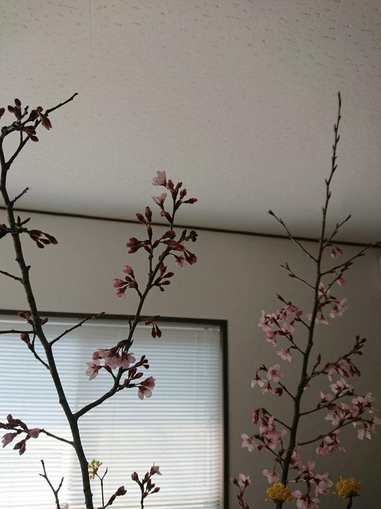 山口市 桜